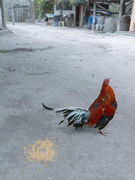Pollos Y <strong>gallo</strong>s Disponibles
