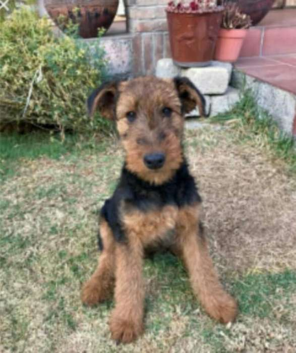 Airedale <strong>terrier</strong>