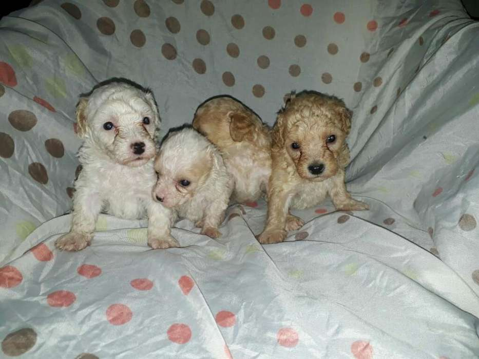 Cachorritos de Mini Toy Poodle Disponibl