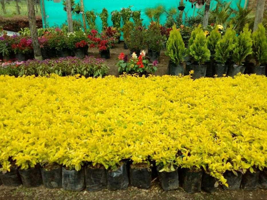 PLANTAS DE DURANTA y EUGENIAS POR DOCENAS EN COLOMBIA
