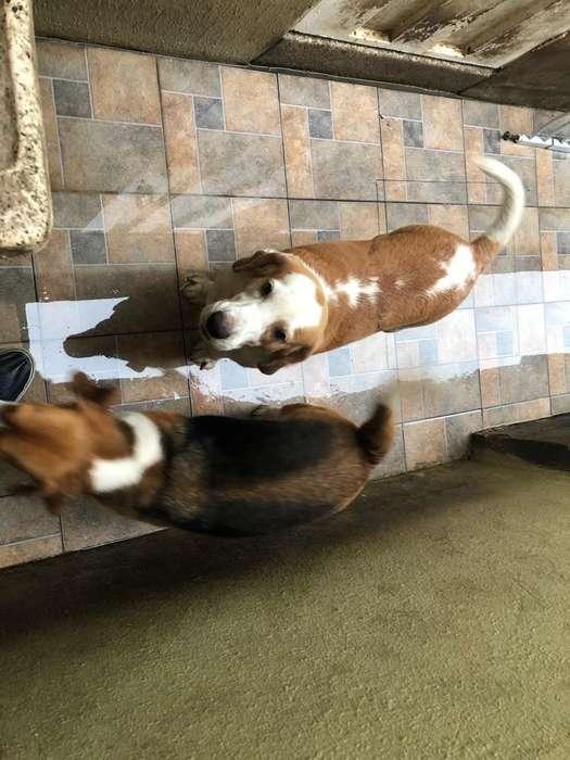 2 Beagles por Viaje Año Y Medio