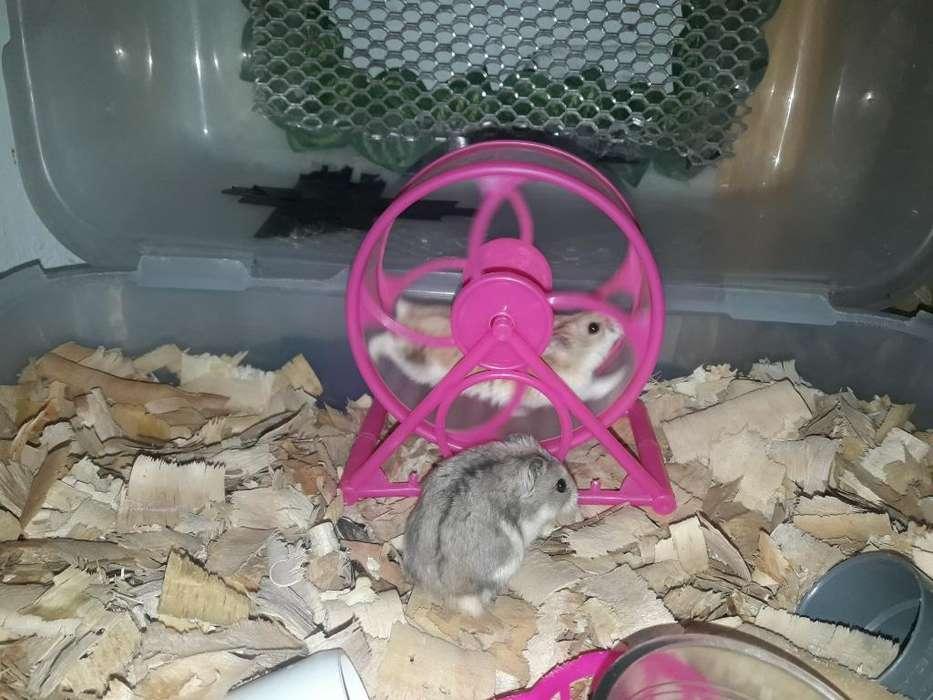 Se Vende Dos Hamsters Rusos con Jaula