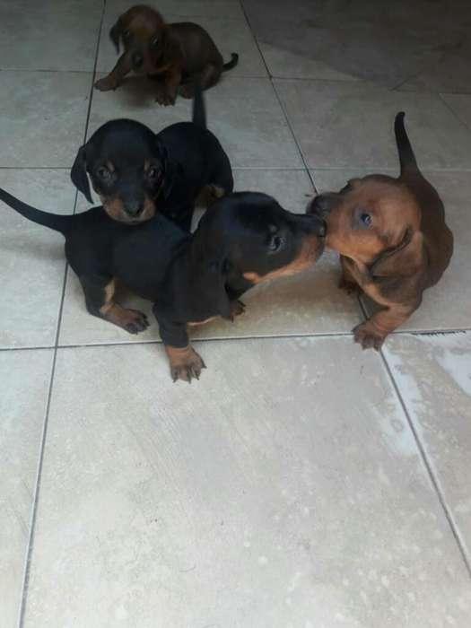 Vendo Último <strong>cachorro</strong> Salchica Negro