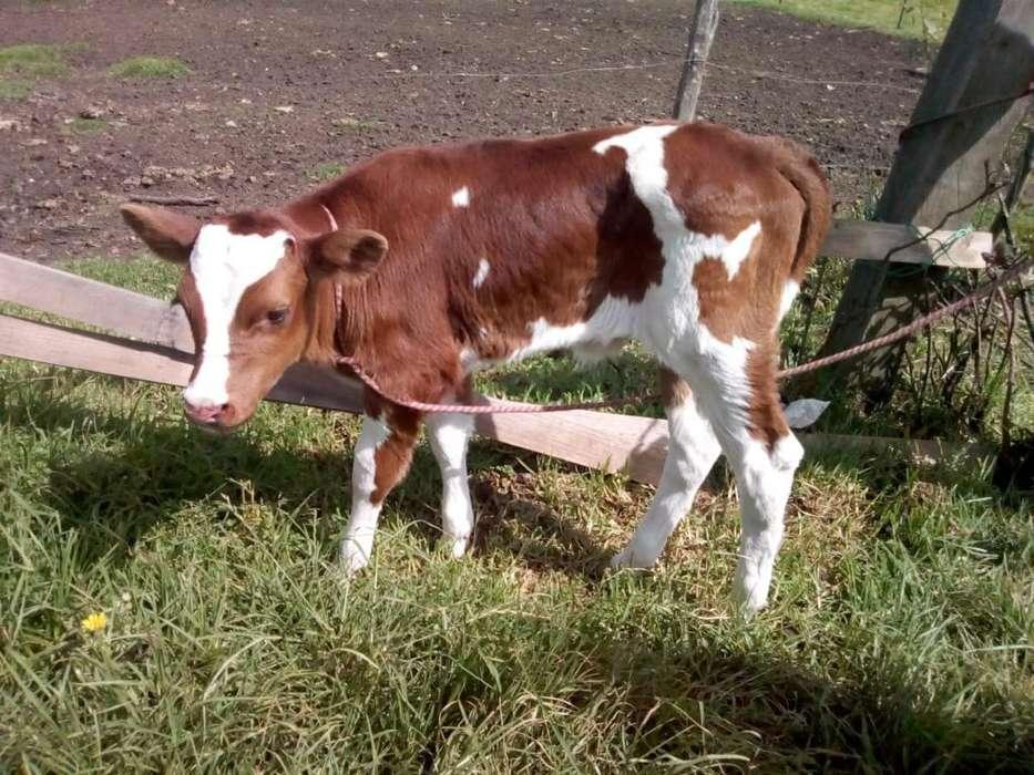 Terneros Holstein Rojo Y Sueco Rojo