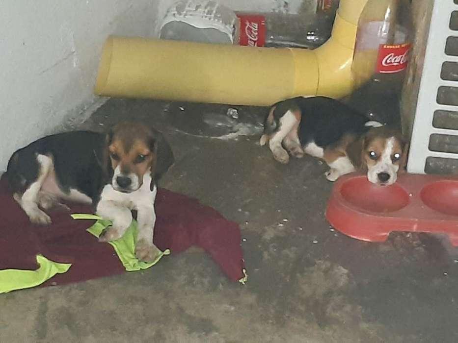 Se Vende Perro Beagle negociable