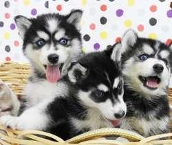 Husky Siberianos Ojos Celestes