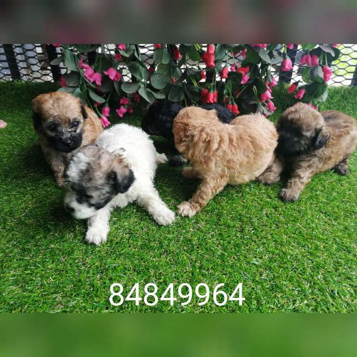 Machitos French Poodle