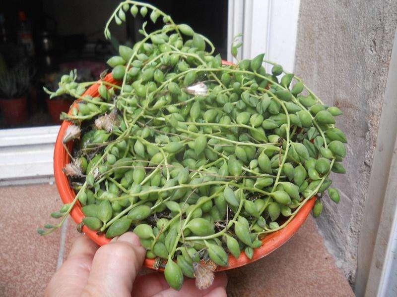 senecio citriformis bowl 18