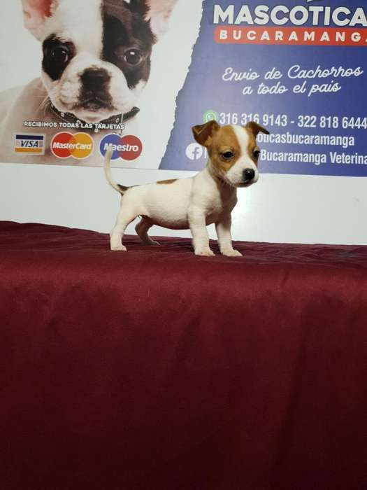 Vendo Estupendos Jack Russell Terrierss