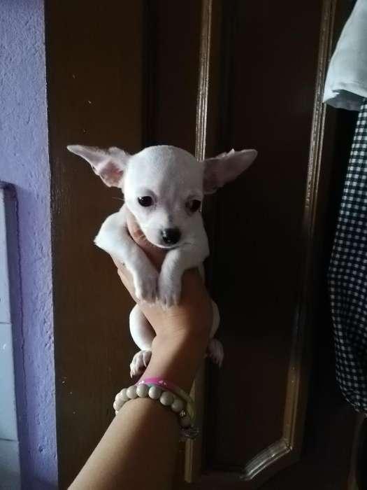Chihuahua Blanco Macho