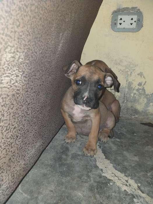 Cachorros de 2 Y 3 Meses Pitbull