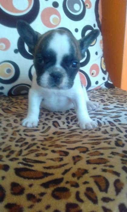 <strong>cachorro</strong>s Bulldog Frances