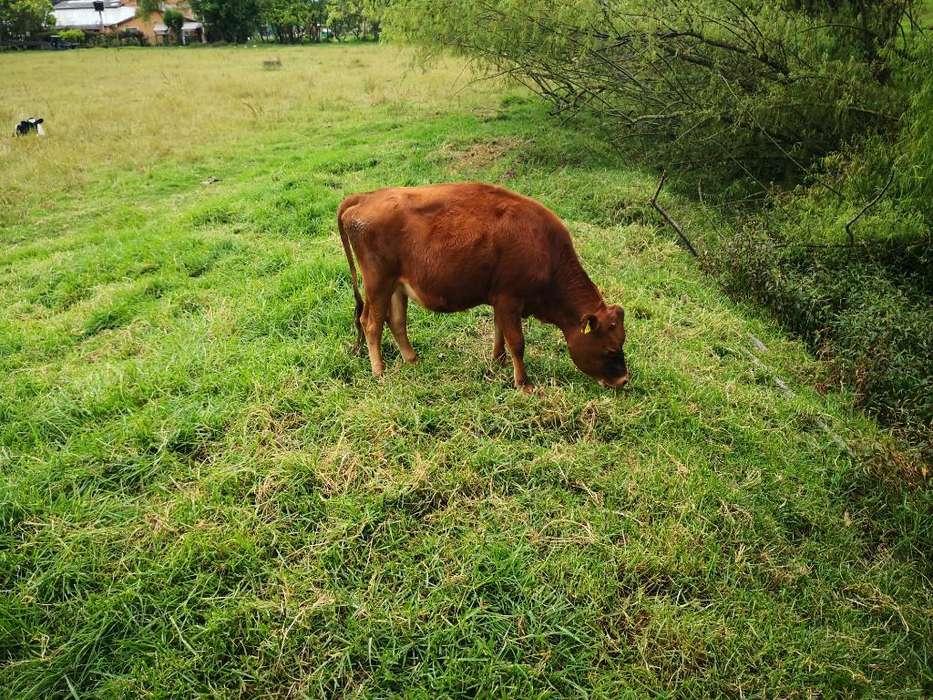 Vendo Vaca Miniatura Jersey
