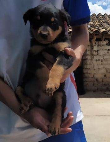 <strong>cachorro</strong>s rottwailer