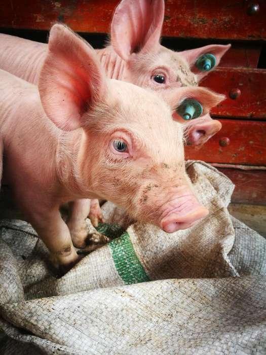 Venta de cerdos lechones en Popayn Cajibio