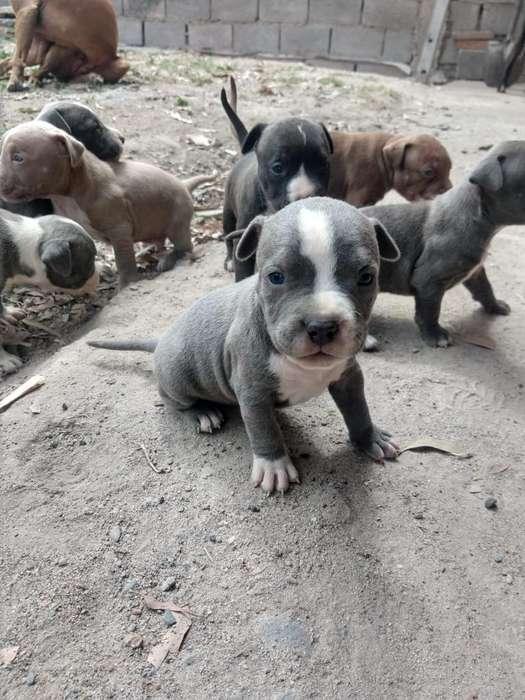 <strong>cachorro</strong>s Pitbulls