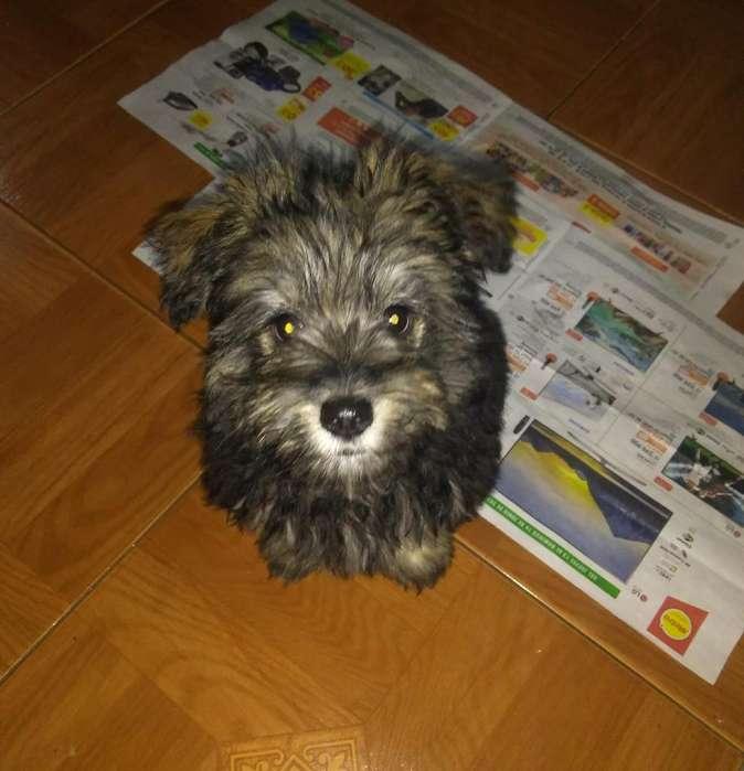 Cachorro raza pequeña Obsequio (Schnauzer y Yorkshire Terrier Yorkie)