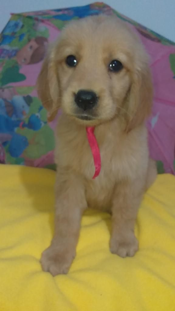 Caradeangel Golden Retriever