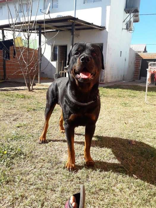 Macho Puro Rottweiler para Servicio