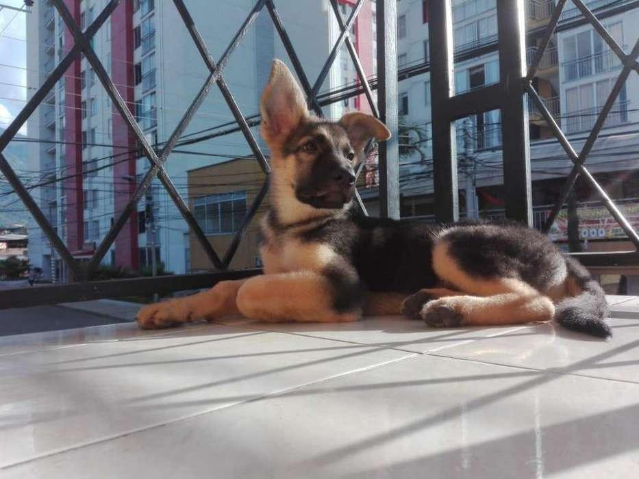 Hermoso cachorro pastor aleman