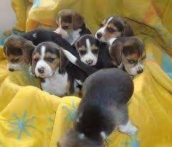 cachorros <strong>beagle</strong> muy activos