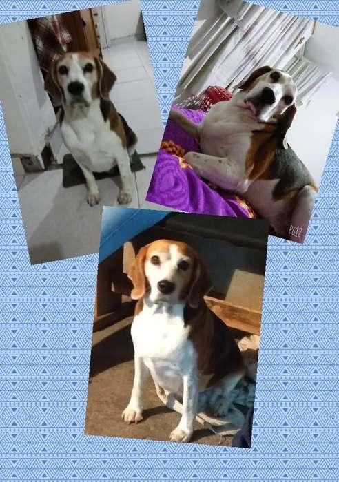 Busco novia <strong>beagle</strong>