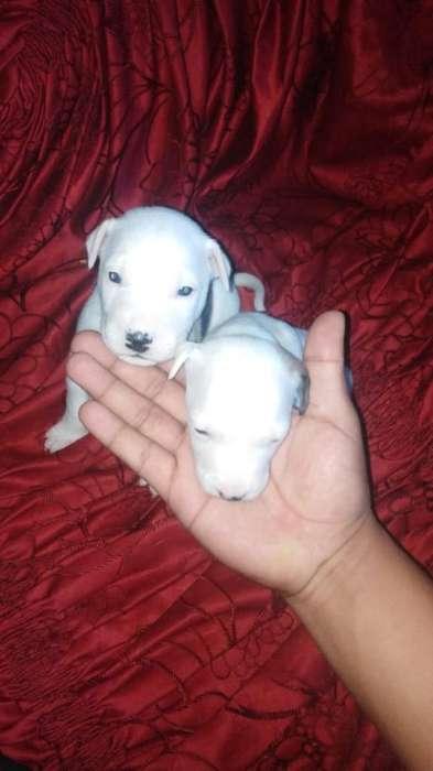 Cachorros Bulterry Lindos