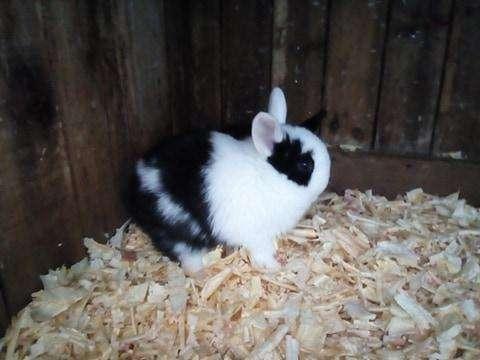 Cabaña El Mago vende Conejos enanos Netherland Duarf