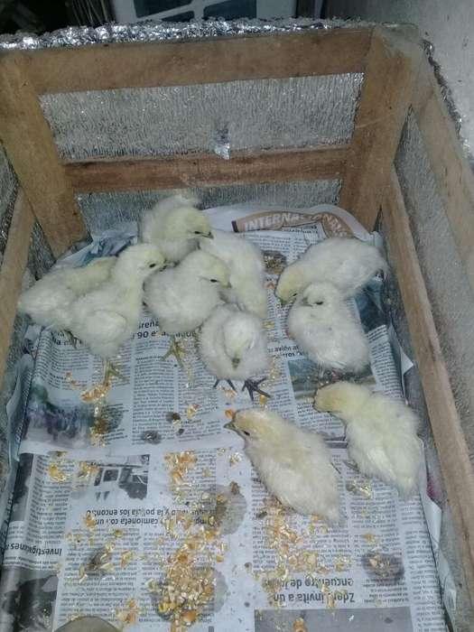 Vendo Pollitos Sedosas
