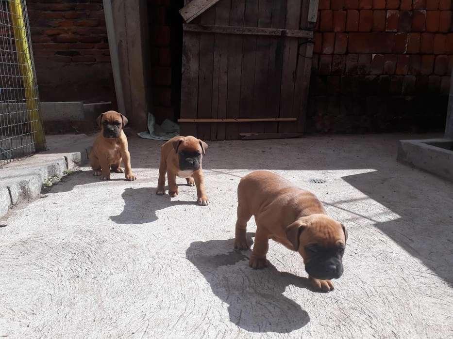 cachorros <strong>boxer</strong>