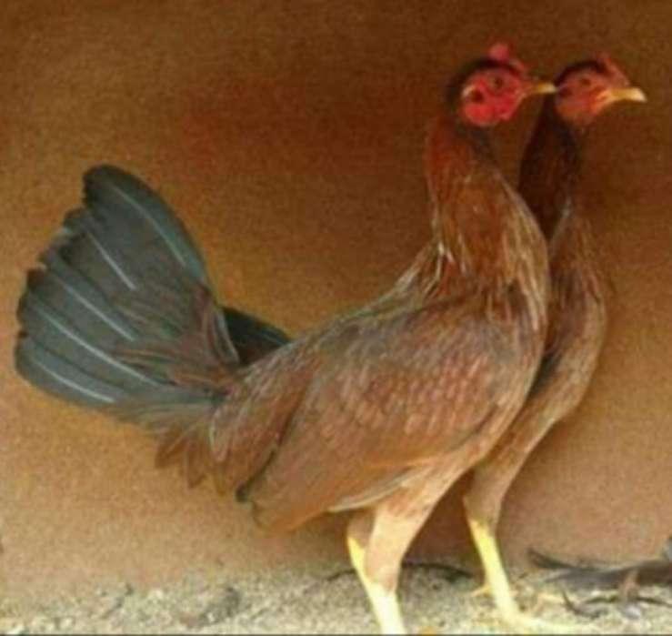 Pollas Disponibles