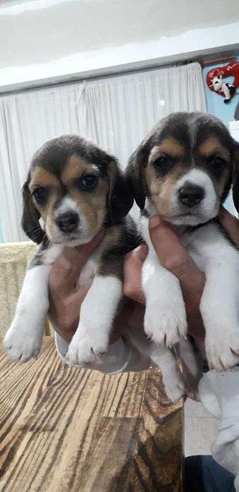 Perras Beagles