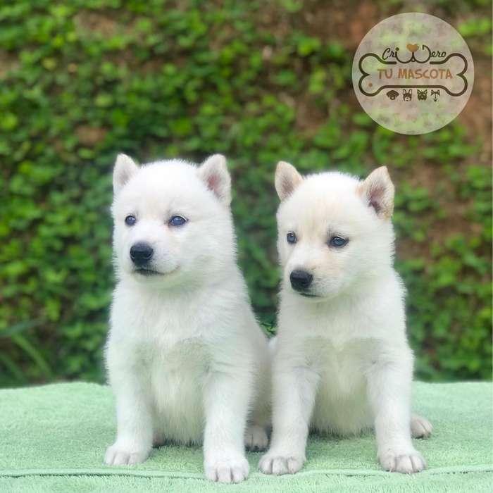 Cachorros Husky S