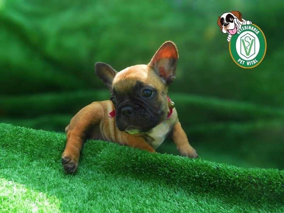 <strong>cachorro</strong>S BELLOS BULLDOG FRANCES EN PET VITAL !!!
