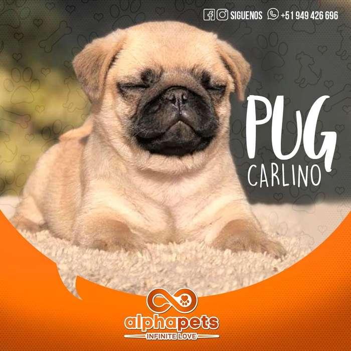 MAJESTUOSOS <strong>cachorro</strong>S PUG CARLINO - ENVIÓ NACIONAL E INTERNACIONAL ALPHA PETS