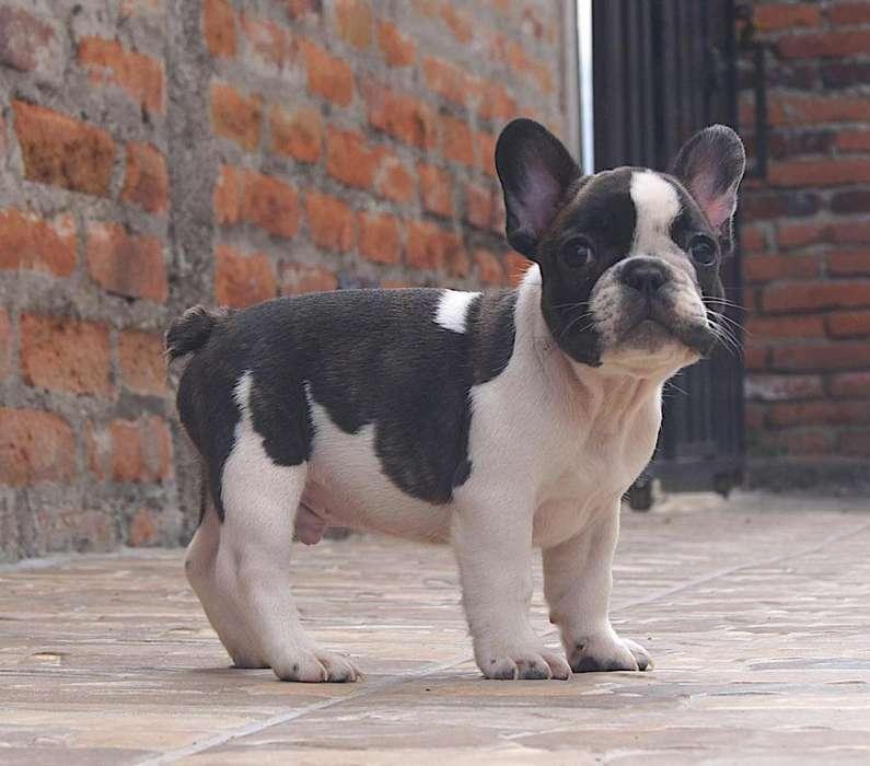 Cachorro <strong>bulldog</strong> frances con excelente pedigree