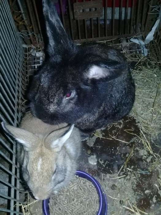 Vendo Casal de Conejos