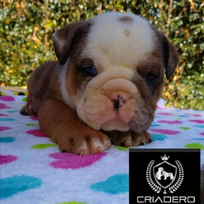 Hermoso Bulldog Ingles