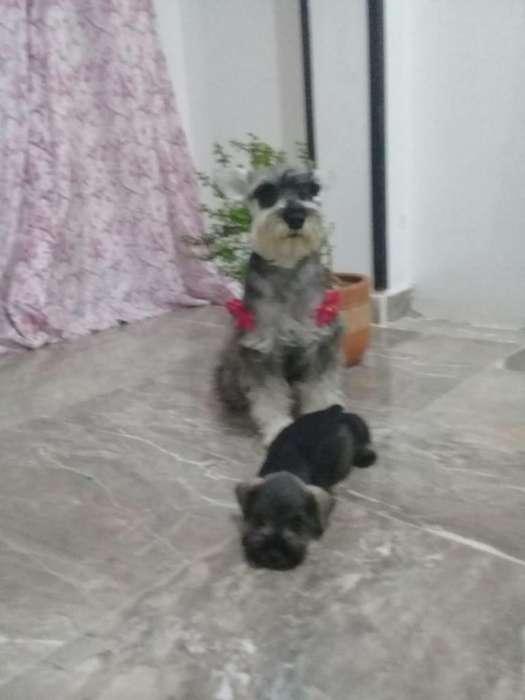 HERMOSOS <strong>cachorro</strong>S SCHNAUZER