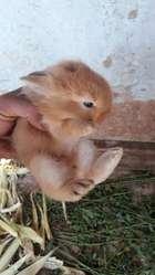 Conejo Bebe Cabeza de Leon Delivery