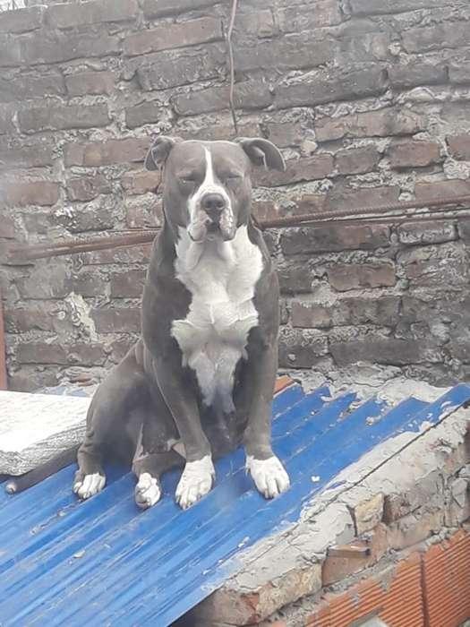 Se Venden Cachorros Pitbull