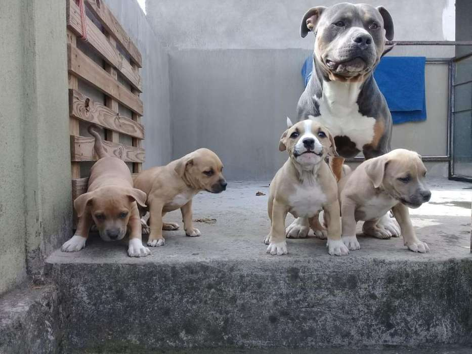 <strong>perro</strong>s Pitbull