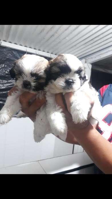 Encantadores Cachorros Raza Shih Tzu