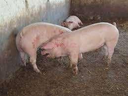 venta de <strong>cerdo</strong> en canal