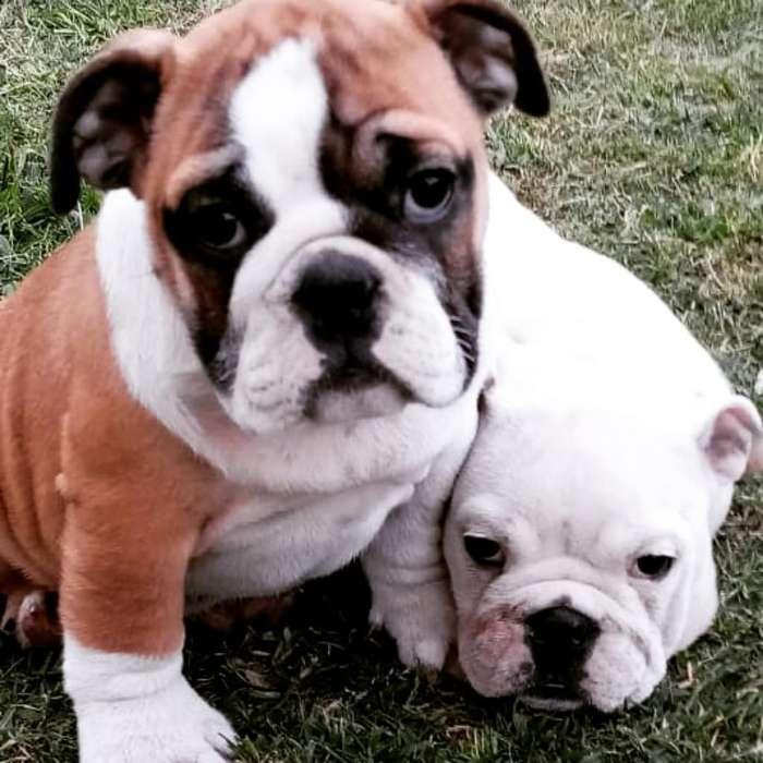 <strong>bulldog</strong> Ingles