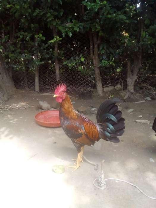 Pollos de Diversión