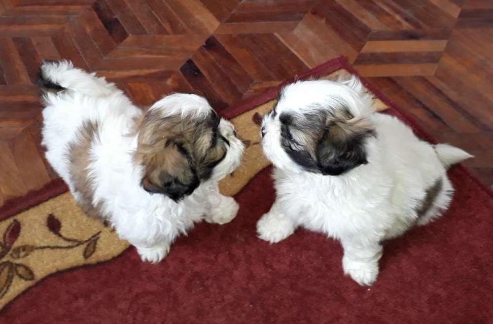 verdaderas Miniatura cachorritas shitzu originales