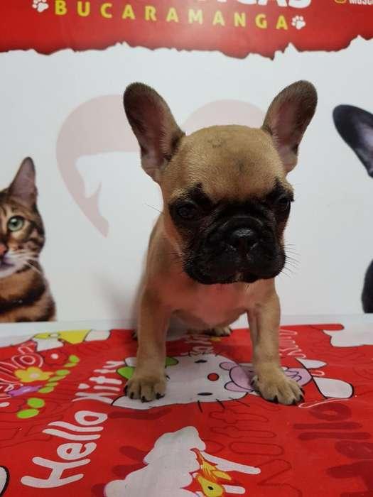 Bulldog Frances de Maxima Genetica