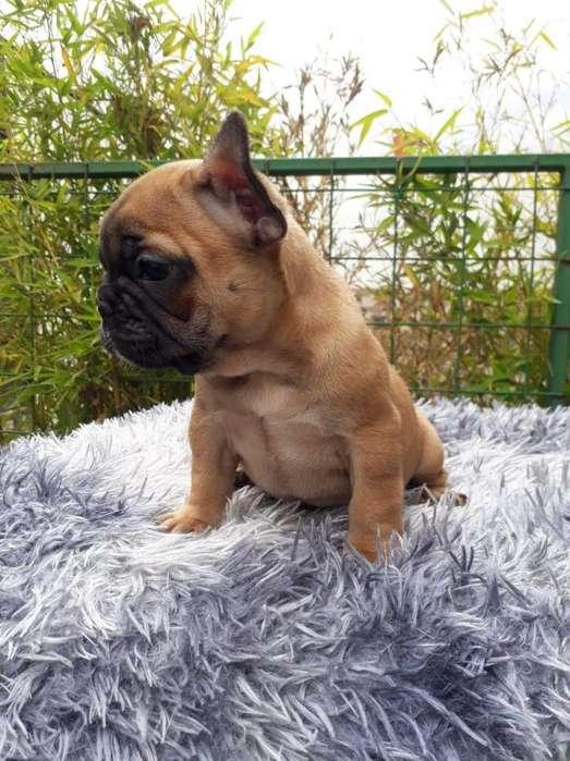 Bulldog Francés Hembras