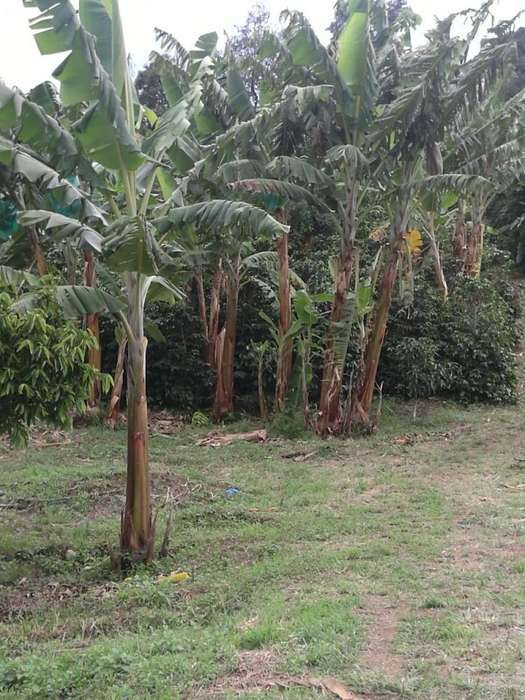 Se vende finca en aguacate ,plátano y café en Belen de Umbría